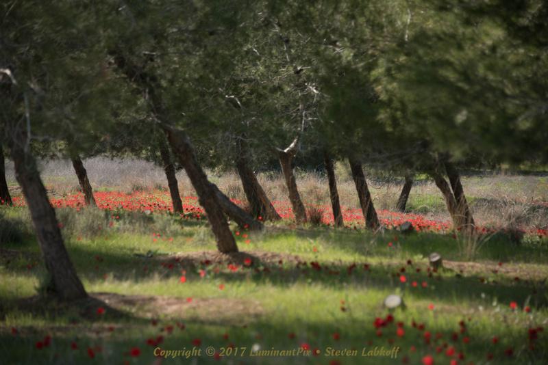 A Sea of Anemone